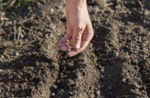 semințe de legume